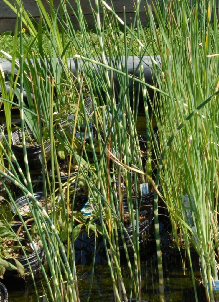 Zebra rush (Scripus laustris subsp. tabernaemontani 'Zebrinus')