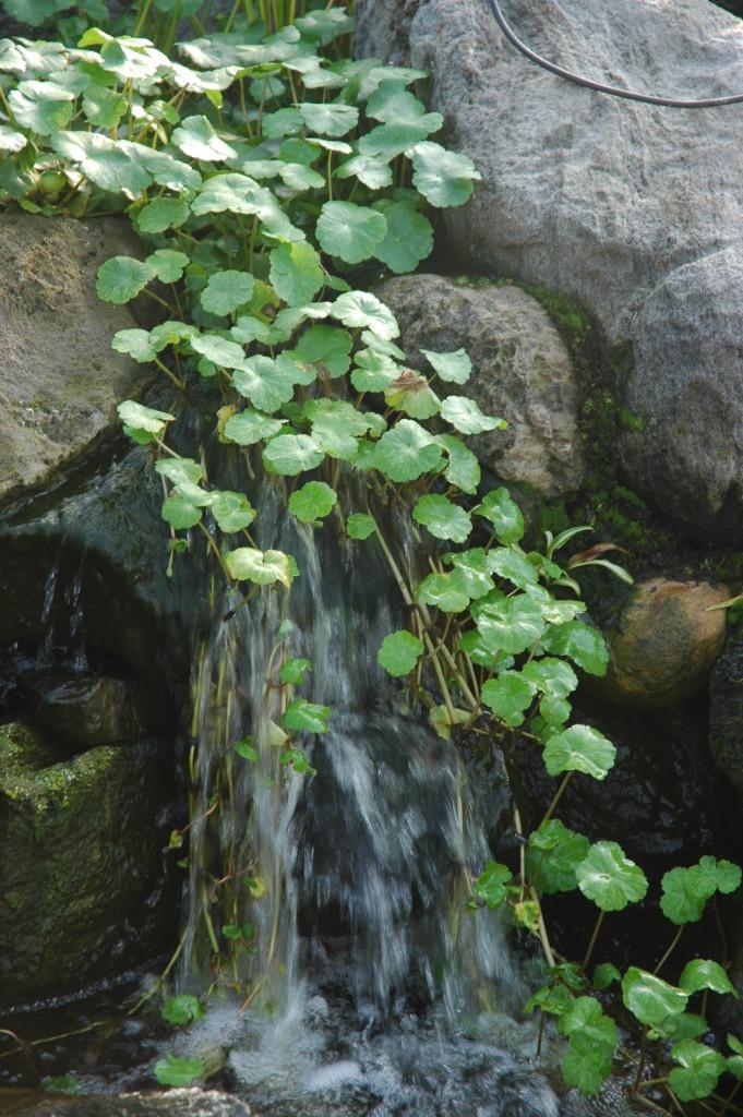 Pennywort (Hydrocotyl Umbellata)