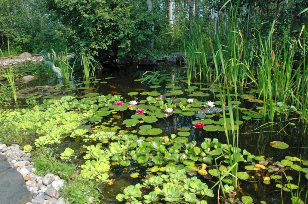 Aqualine's Lily Pond in bloom