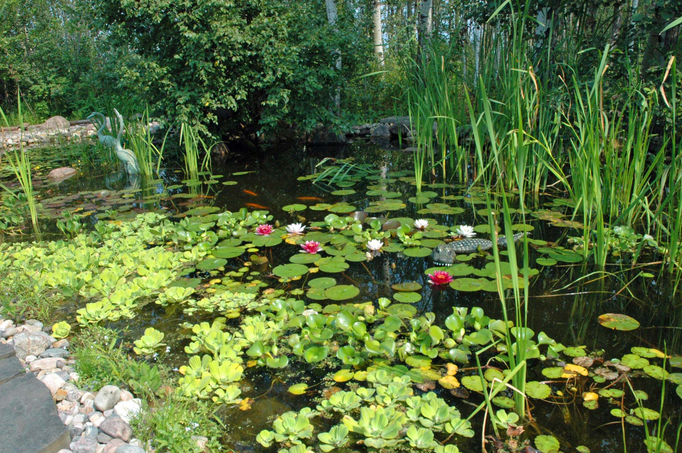 Aquatic plants for Using pond water for plants