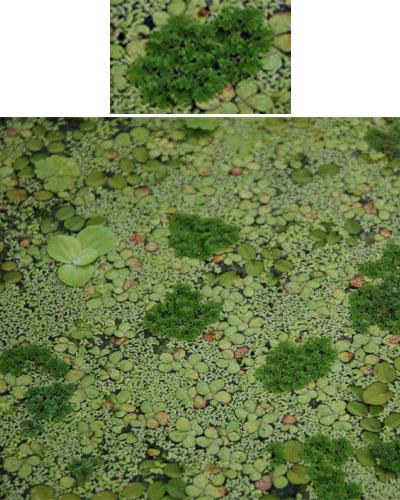 Fairy moss (Azolla caroliniana)