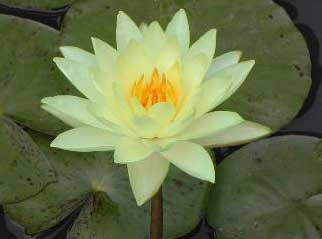 Nymphaea 'Joey Tomocick'