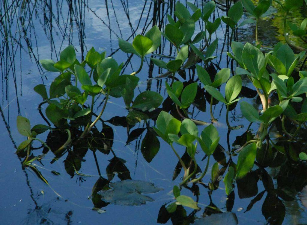 Bog Bean (Menyanthus Trifoliata)