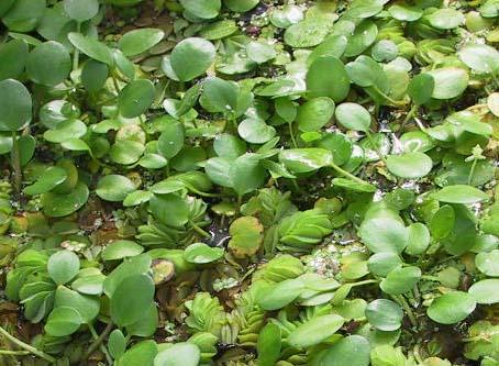 FROG BIT (hydrocharis morsus-ranae)