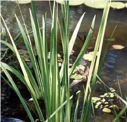 Sweet Flag (Acorus calamus 'variegatus')