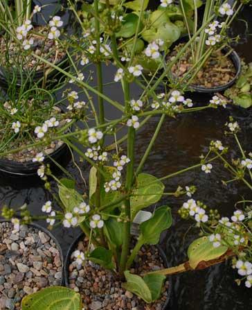 Alisma/Plantain (Alisma plantago-aquatica)