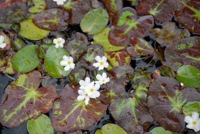 Water Snowflake (Nymphoides indicum variegata)